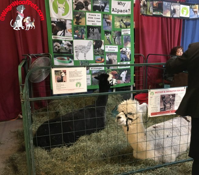 NH Farm & Forest Expo - Alpacas