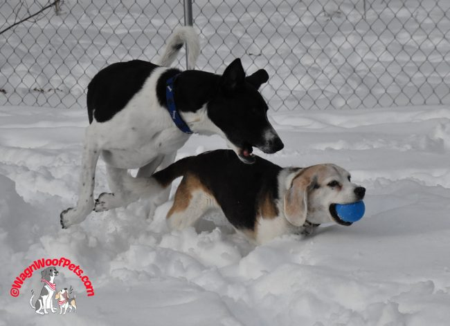Older Beagle Gets Payback on her Younger Lab Mix Brother
