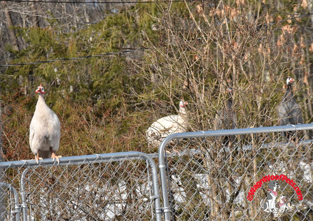Guinea Hens - Spring Fever