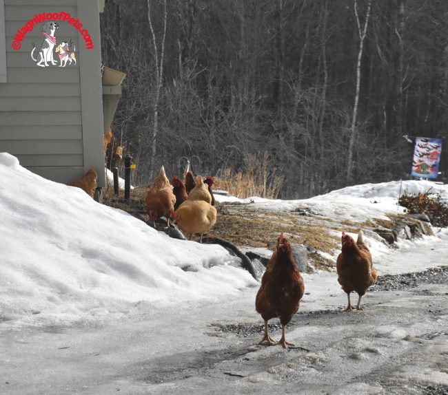 Free Range Chickens - Spring Fever