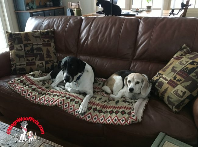 Lab Mix and Beagle - Togetherness
