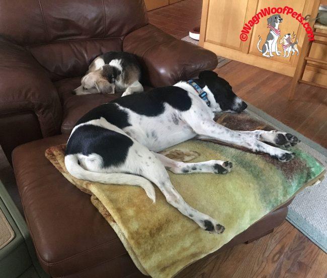 Beagle and Labrador Retriever Mix Sharing the Chair