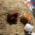 Farm Friday - Chickens Dirt Bathing