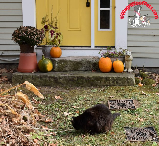 Pumpkin is Good for Dogs - & Cats!