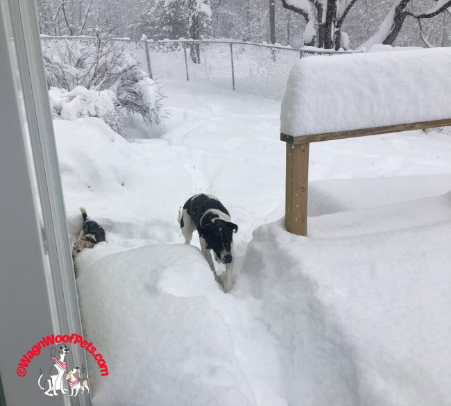 Beagle and Lab Mix Having Fun in the Fresh Snow!