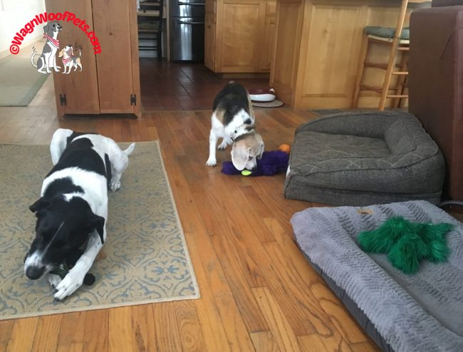 Senior Beagle and Lab Mix Brother Having Fun with Toys