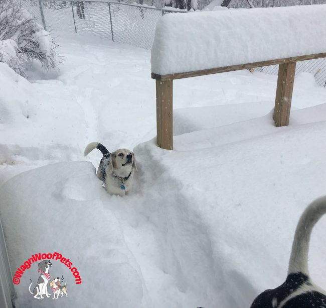 Fun in the Snow for Beagle Cricket