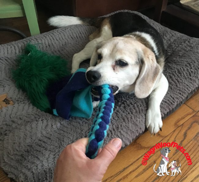 Playing with Our Senior Beagle