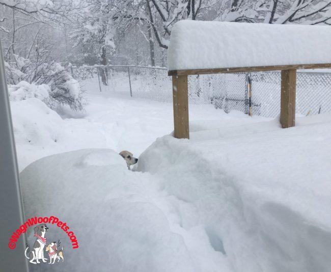 Senior Beagle in the Deep Snow