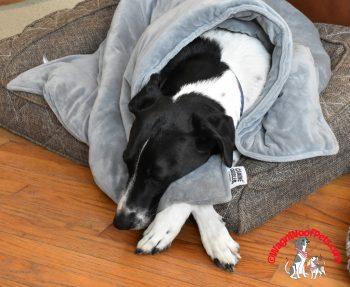 Luke Snuggled in his Canine Coddler Blanket