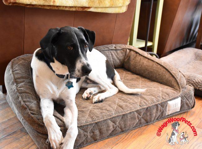 Luke on his Brentwood Pet Orthopedic Bed