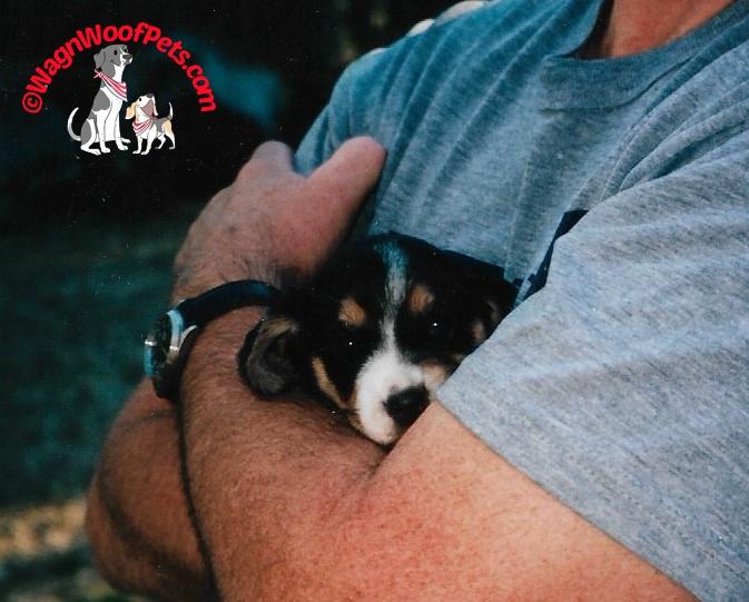 A Tiny Beagle Puppy