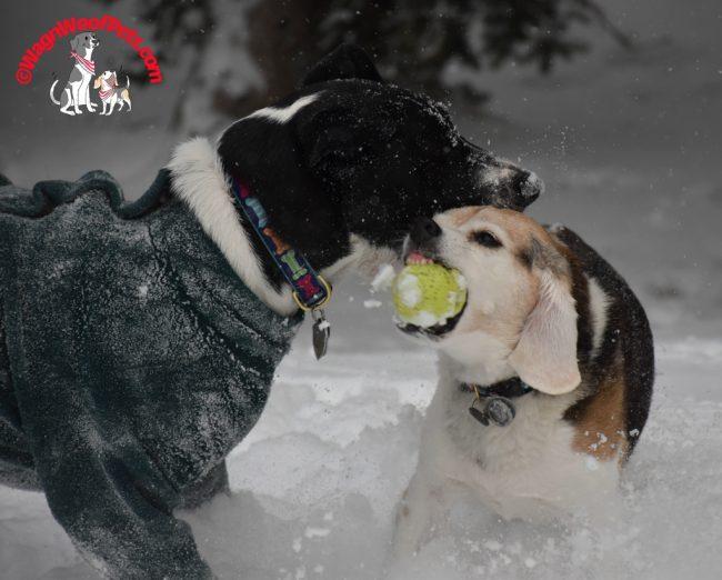 Cricket the Feisty Beagle