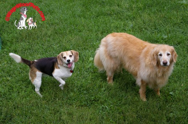 Beagle and Golden Retriever
