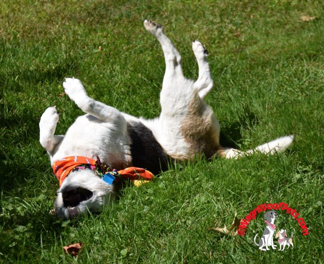 Beagle Rolling in Grass