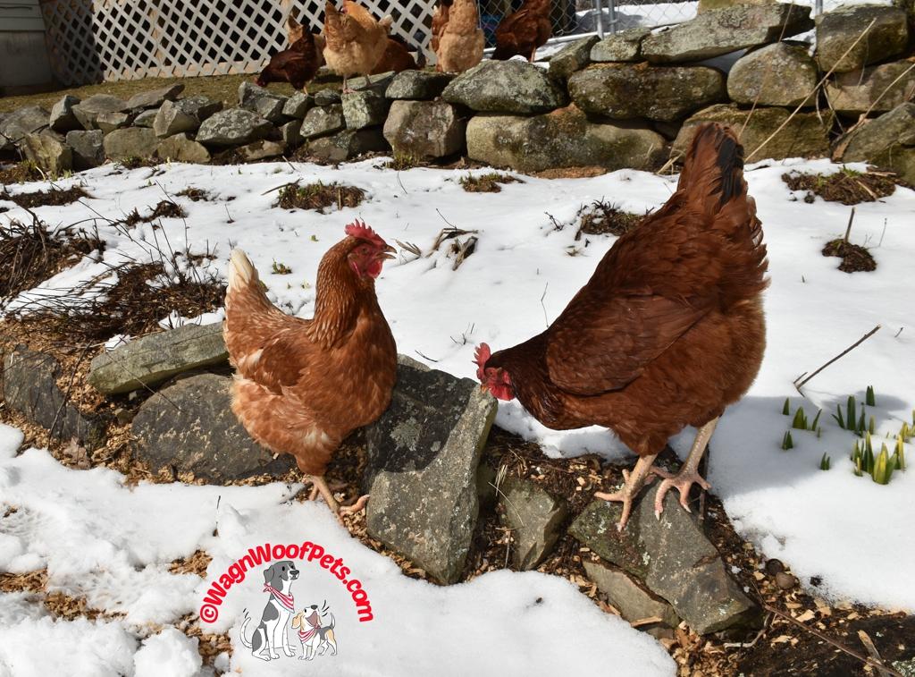 Conversation Between Hens