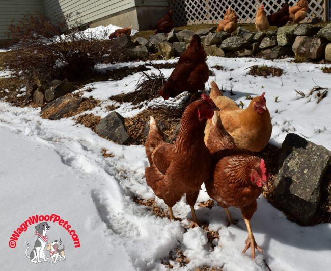 Chickens Enjoying Spring