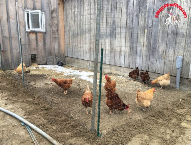 The New Chicken Run (Incomplete)