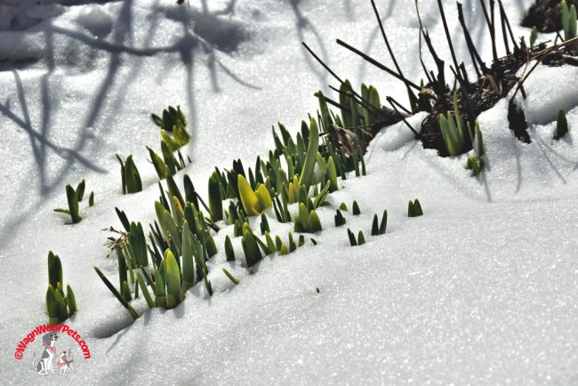 Spring in New England - Daffodils in the Snow