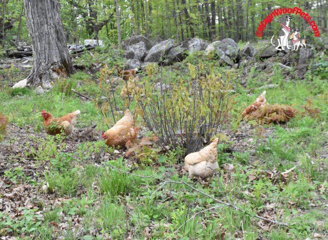 Chickens Free Ranging