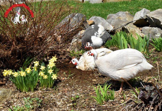 Guinea Hens & Daffodils