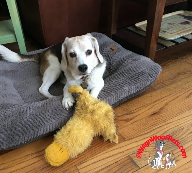 Beagle Cricket with Favorite Toy - Sweet Memories