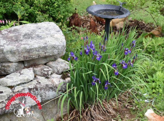 Free Range Chickens in the Garden