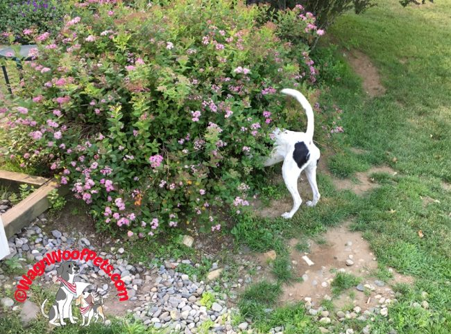Dog Disappears in the Spirea Bush