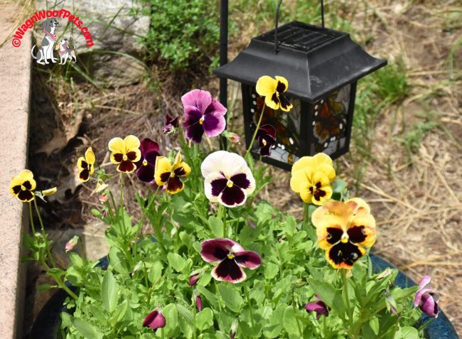 Pansies on the Farm