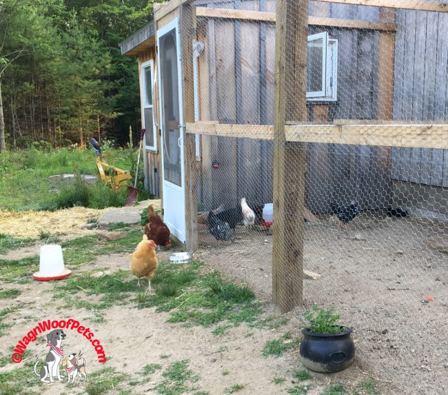 Temporary Segregation for Pullets and Hens