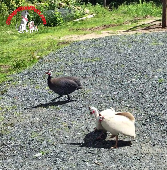 Guinea Hens Squabbling