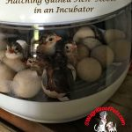 Monday Fun Day – Hatching Guinea Keets