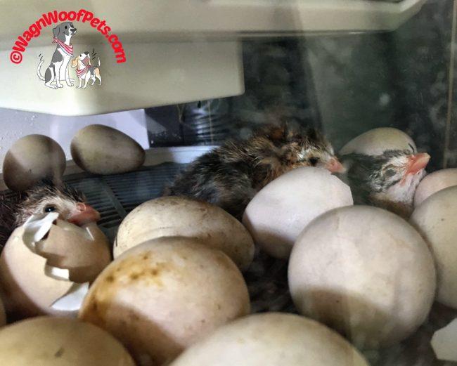 Hatching Baby Guinea Fowl