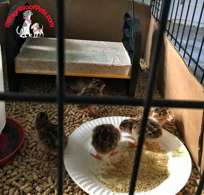 Guinea Hen Keets in Brooder
