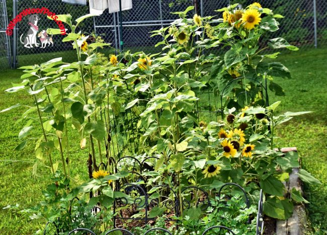 Sunflowers Out of Control!