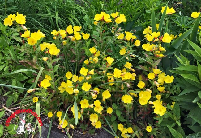 "Evening Primrose - ""Sundrops"""