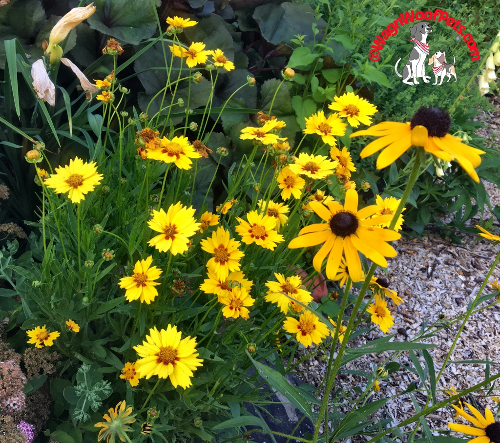 Flower Friday - Coreopsis