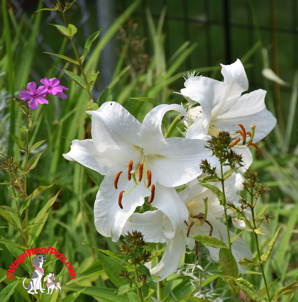 Flower Friday - True Lilies