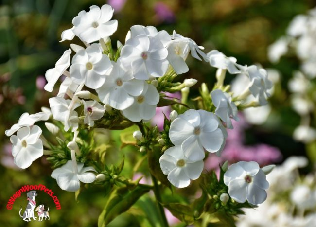 Flower Friday - Phlox