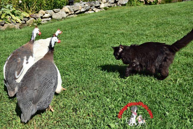 Black Cat Samantha & her Guinea Hens