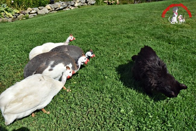 Guinea Hens Curious About Cat