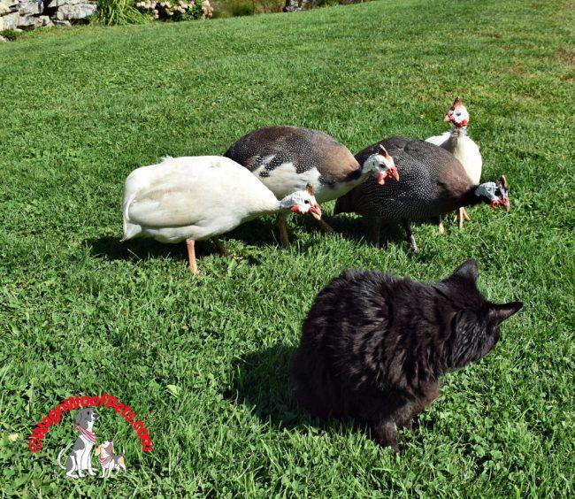 Guinea Hens & Black Cat