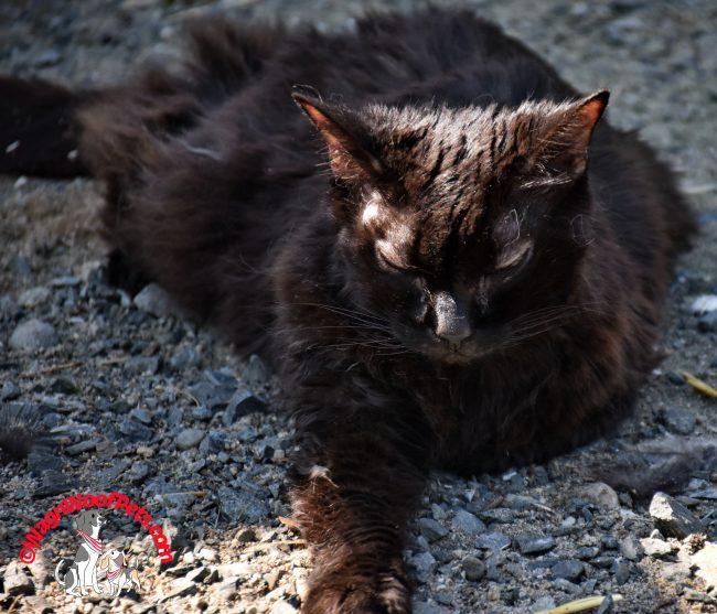 Black Cat Samantha Enjoys an Outdoor Snooze