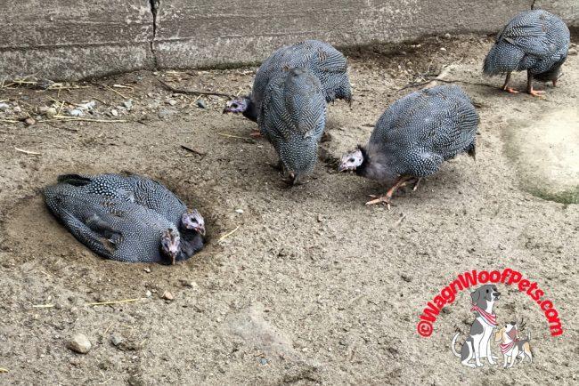 Guinea Hens Dust Bathing