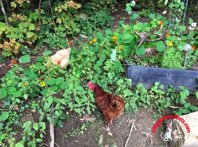 Chickens and Nasturtiums