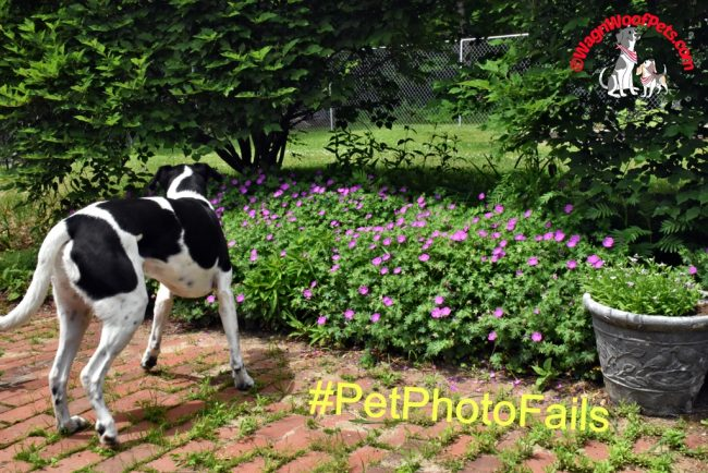 Lab Mix is Outta Here #PetPhotoFails