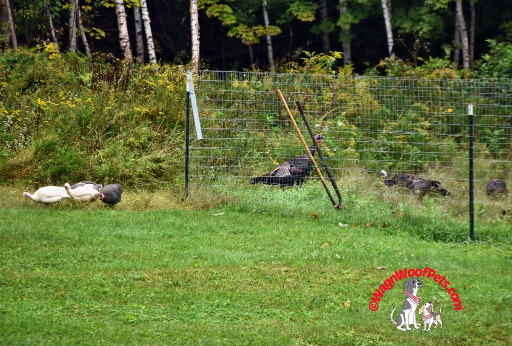 Guinea Hens & Wild Turkeys
