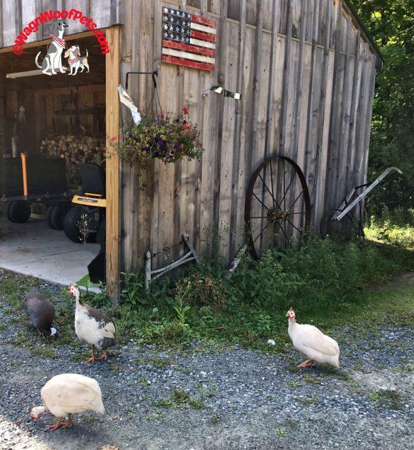 Guinea Hens on the Farm