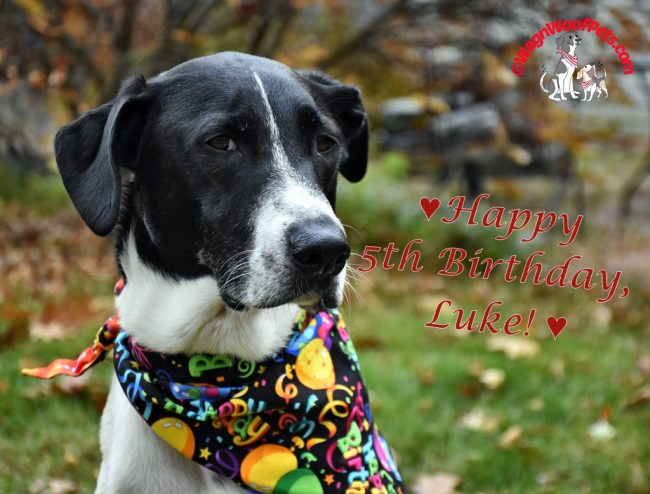 Happy Birthday to our Lab Mix Luke