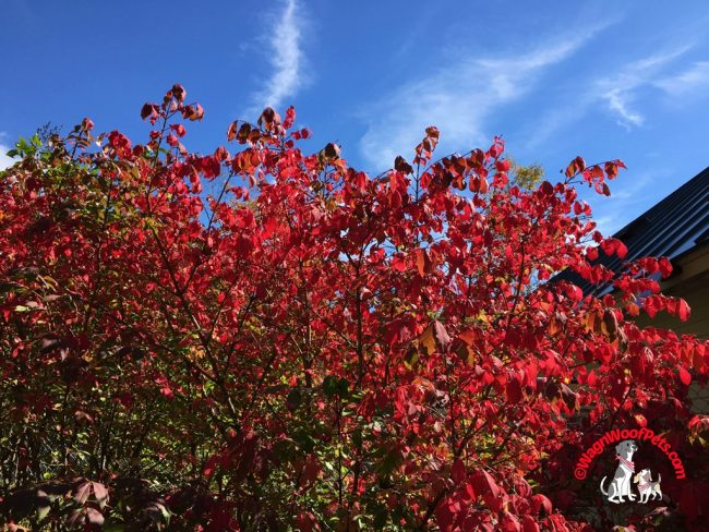 Red Foliage Pops Against the Blue Sky